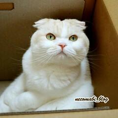 ダンボール箱/箱猫/スコ座り/スコティッシュフォールド/LIMIAペット同好会/フォロー大歓迎/...  ダンボール箱大好き💕 スコ座りでリラッ…