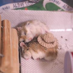ハムスター/うちの子ベストショット/LIMIAペット同好会/ペット/ハンドメイド いつもくっついて寝ていた 仲良し双子兄弟…