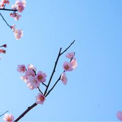 フォト/写真/小さい春/LIMIAおでかけ部/フォロー大歓迎/はじめてフォト投稿/... 青に映えるピンクの小さいお花が かわいい…