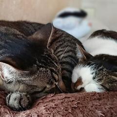 保護猫/癒し/カワイイ/うちのこベストショット/LIMIAペット同好会/フォロー大歓迎/... 仲良くお昼寝🍀😊✨