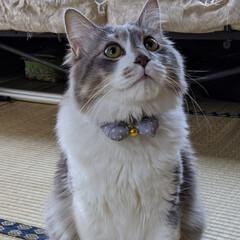 キジシロ/長毛猫/ペット同好会/ニャンコ同好会/保護猫 あのね、去年 ママが保護して ママの妹の…