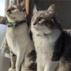 ペット同好会/にゃんこ同好会/長毛猫/キジシロ/兄弟猫/保護猫 仲良くツーショット😸🎶😸 と…思ったら、…