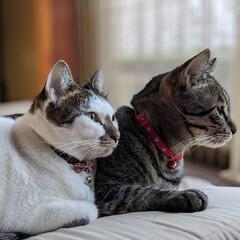 ペット同好会/にゃんこ同好会/仲良し/シンクロ猫/ノラ出身/兄妹猫/... にゃか良し🍒 シンクロにゃん😸🎶