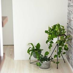 玄関インテリア/シンプルインテリア/プラントスタンド/植物のある暮らし/観葉植物/植物/... 玄関の観葉植物たち✨ もっとモリモリにし…(1枚目)