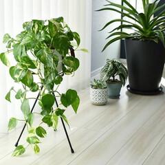 バーチカルブラインド/アガベ/ポトス/プラントスタンド/植物/植物のある暮らし/... ポトスが床につくまでぐんぐん成長してくれ…