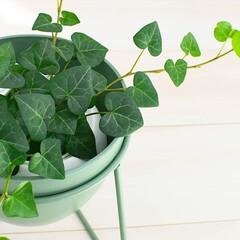 ソストレーネグレーネ/グリーンインテリア/ヘデラ/ハートアイビー/アイビー/植物のある暮らし/... ハートアイビーって本当にハートの形してる…(1枚目)