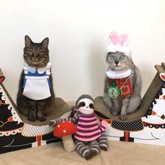 コスプレ猫/コスプレイニャー/猫/最近のコーデ ステイホームでアリスのお茶会にゃーん!