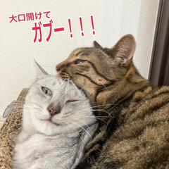 LIMIAペット同好会/猫 毛づくろいのどさくさに、大口開けてがぶー…