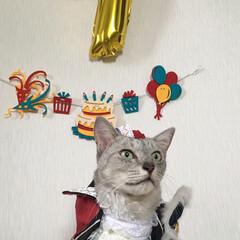 誕生日/オーサムストア/猫/にゃんこ同好会/わたしのお盆 8月15日で ミロが7歳になりました! …