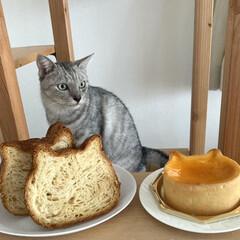 ねこねこチーズケーキ/ねこねこ食パン/LIMIAペット同好会 ねこねこ食パンとねこねこチーズケーキ! …