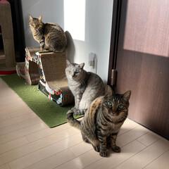 cat/猫/nekoto_/キリンの爪とぎベッド/爪とぎ/猫のいる暮らし/... 朝、日当たり良好な廊下に爪とぎを並べたら…(1枚目)