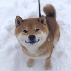 柴犬/笑顔/雪/LIMIAペット同好会/フォロー大歓迎/ペット/... こたろうから 満面の笑みいただきました♫…(1枚目)