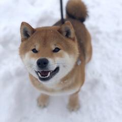 柴犬/笑顔/雪/LIMIAペット同好会/フォロー大歓迎/ペット/... こたろうから 満面の笑みいただきました♫…(2枚目)