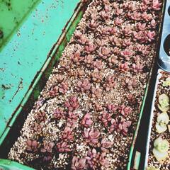 ブロンズ姫/多肉/多肉植物/工具箱 ブロンズ姫の葉挿しからの育成♡