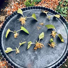 紫陽花/ハワイアンジュピター/挿木 自分用記録☆ 紫陽花、鹿沼土オンリーの分…