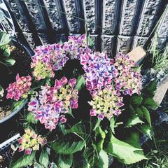 「個人の記録! 紫陽花編  んー鹿沼土で植…」(1枚目)