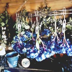 紫陽花/菊芋/かぶら大根 ここ、2.3日寒〜い朝‼︎ 出勤前にアレ…(1枚目)