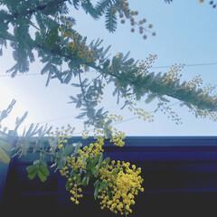 多肉葉挿し/ミモザ やっと我が家のミモザが咲きましたー! 咲…(3枚目)
