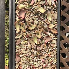 多肉増殖/ローズマリー/オブツーサ/多肉/葉挿し 前〜の画像から、約1ヶ月経過‼︎ ブロウ…(2枚目)