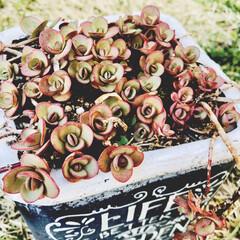 紅葉/多肉植物/セダム/ライムジンガー ライムジンガー♡いい感じの色合い♡ メル…
