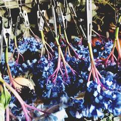 紫陽花/菊芋/かぶら大根 ここ、2.3日寒〜い朝‼︎ 出勤前にアレ…(2枚目)