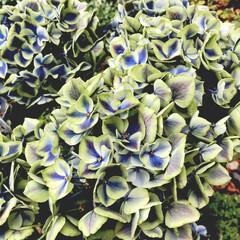 秋色紫陽花/ハワイアンジュピター/紫陽花 近所の園芸店で、ハワイアンジュピターとい…
