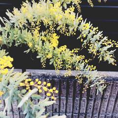 多肉葉挿し/ミモザ やっと我が家のミモザが咲きましたー! 咲…(2枚目)