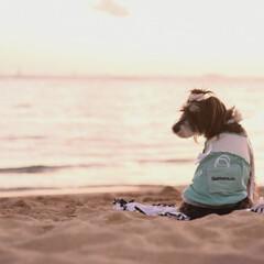 miniatureschnauzer/ベルちゃん/シュナウザー/ワイキキビーチ/愛犬とハワイ/hawaii/... ベルちゃん達と新婚旅行のハワイ行った時の…