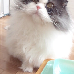 LIMIAペット同好会/ペット/猫/にゃんこ同好会/ハチワレ/折れ耳スコ/... 「もっと美味しいやつください♡」 おかわ…