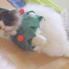 LIMIAペット同好会/ペット/猫/にゃんこ同好会/うちの子自慢/ハチワレ/... これは妖精ですか?🧚♂️ いいえ、去年…