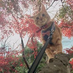 ねことの暮らし/猫と紅葉/もみじ/ツナ🐈/茶トラの綱吉🐈/茶トラ/... みんなで お出かけした2019年秋の写真…