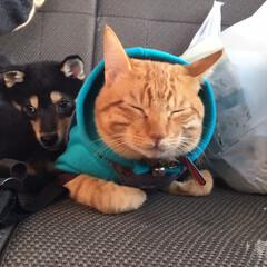 黒柴/黒柴ごま/茶トラの綱吉🐈/犬と猫/ドライブ/dog/... ドライブ中の後部座席は、この様になってお…