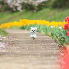 春のフォト投稿キャンペーン/フォロー大歓迎/LIMIAファンクラブ/春/LIMIAペット同好会/わんこ同好会/... チューリップの小径を走る るんるん♪