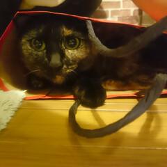 猫/うちの子ベストショット 袋大好き❗