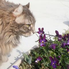猫/LIMIAペット同好会/アメリカンカール/花/ビオラ/うちの子自慢/... 🐰耳の我が家の「はな」 お庭で🐰の様なビ…