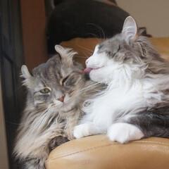 猫/ペット/LIMIAペット同好会/もふもふ/なかよし/親子/... 我が家の姫猫「はな」とママ猫「ソフィー」…