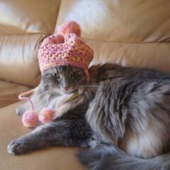 猫/アメリカンカール/ハンドメイド/ニット帽/ペット/にゃんこ同好会/... 我が家の甘えんぼう娘「はな」です。 私が…
