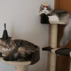 猫/うちの子自慢/ハンドメイド/おひなさま/被り物/LIMIAペット同好会/... 我が家のアランパパ😼&ソフィーママ😹 冠…