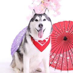 ハスキー/わんこ同好会/犬/大型犬/うちの子自慢 ホテルのスタジオで撮って頂きました🐶✨