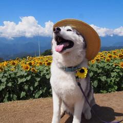 ハスキー/夏/ひまわり/花/犬/大型犬/... ひまわり畑にて🐶🌻 暑い中頑張ってくれま…