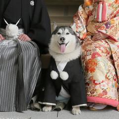前撮り/着物/ハスキー/大型犬/わんこ同好会/結婚/... 和装の前撮りではジャックも参加しました🐶…