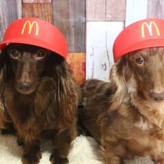 なりきりマック/犬のいる暮らし/犬のいる生活/わんこなしでは生きていけません/わんこ仲間募集/わんこ/... マッククルーの研修中でち⸜❤︎⸝ 研修…