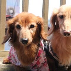 犬のいる生活/犬のいる暮らし/わんこなしでは生きていけません/わんこ仲間募集/わんこ/犬好きな人と繋がりたい/... 我が家の なんちゃって 織姫&彦星✩.*…