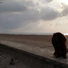海辺/ワンコ/わんこなしでは生きていけません/わんこ/多頭飼い/ミニチュアダックスフンド/... 逆光で、お顔が見えません(笑)