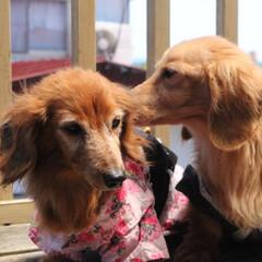 犬のいる生活/犬のいる暮らし/わんこなしでは生きていけません/わんこ仲間募集/わんこ/犬好きな人と繋がりたい/... 我が家の なんちゃって 織姫&彦星✩.*…(3枚目)
