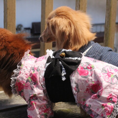 犬のいる生活/犬のいる暮らし/わんこなしでは生きていけません/わんこ仲間募集/わんこ/犬好きな人と繋がりたい/... 我が家の なんちゃって 織姫&彦星✩.*…(2枚目)