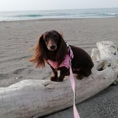 海でお散歩/わんこ/ワンコ/愛犬/多頭飼い/ダックス多頭飼い/... 海にお散歩行ってきました♡