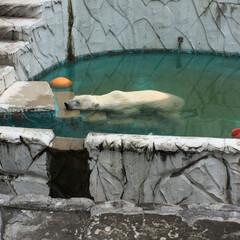 おでかけ/LIMIAおでかけ部/おでかけワンショット 名古屋にある東山動物園のしろくま君が暑さ…
