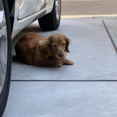 LIMIAペット同好会/フォロー大歓迎/ペット/ペット仲間募集/犬/わんこ同好会/... 車の下で居眠りしているところを激写。 ネ…