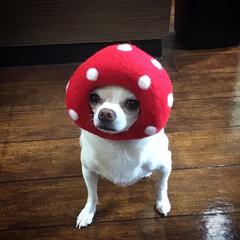 LIMIAペット同好会/フォロー大歓迎/ペット/犬/うちの子ベストショット きのこ星人のかぶりもの 可愛い😍 (1枚目)